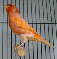 Burung Kenari Canary Bird Tip Ringan - Ajilbab.Com Port